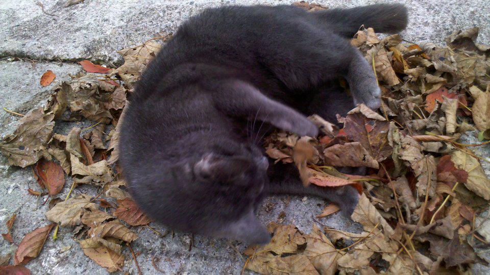 Greyham-kitten-in-leaves