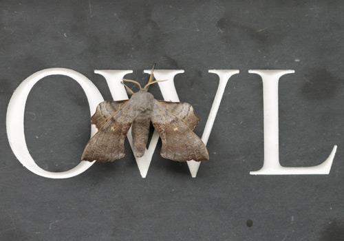 Owl-Cottgae-wildlife