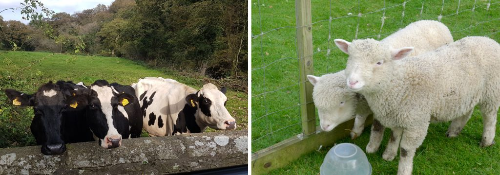 Cows and lambs